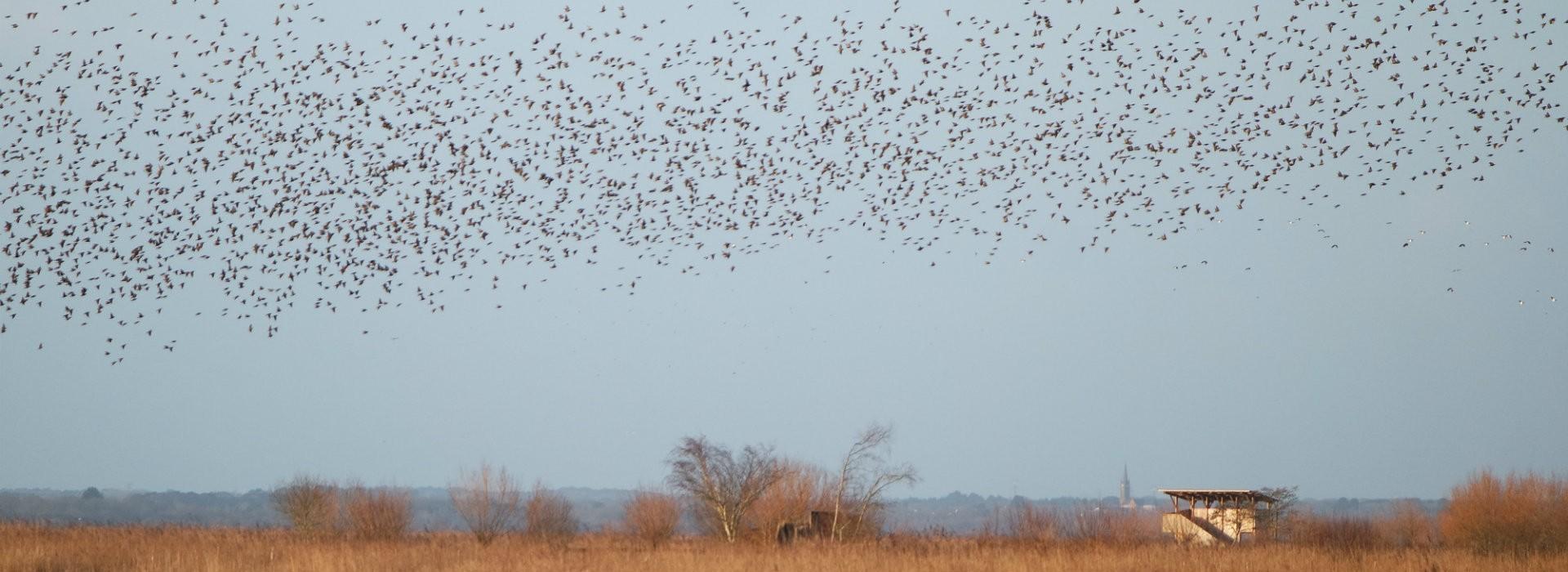 Vol de Vanneaux huppés sur la réserve Marais de Brière