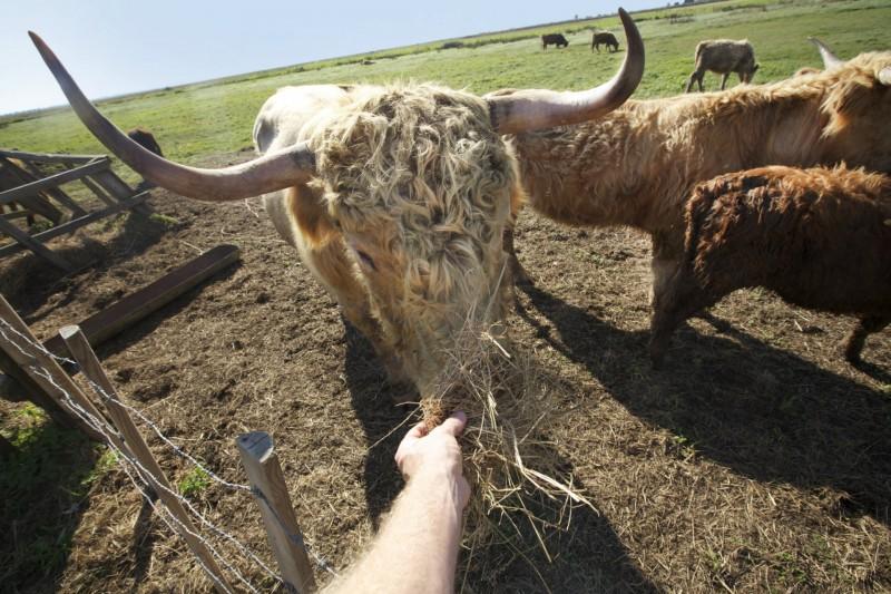 Vaches en Brière - Teddy Locquard