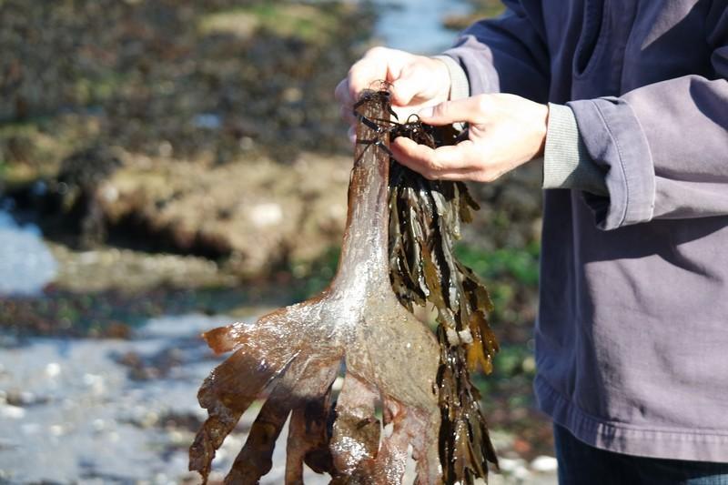 Algues sur l'estran au Croisic