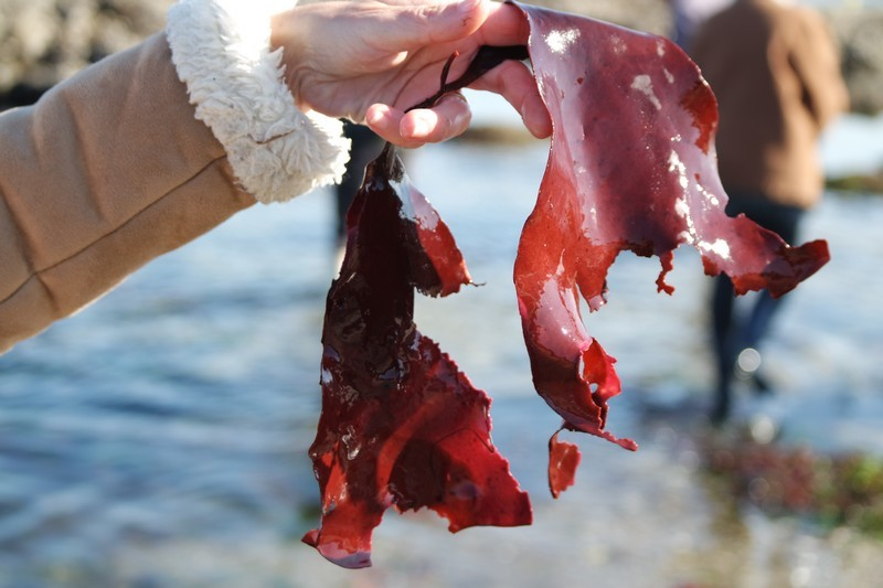 Algues rouges sortie cueillette d'algues au Croisic