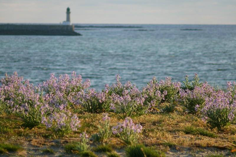 Armérie maritime sur la presqu'île de Guérande