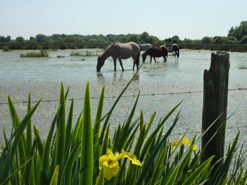 Chevaux dans prairies humides de Brière