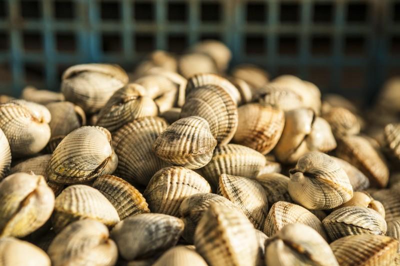 Coques et palourdes Pêche