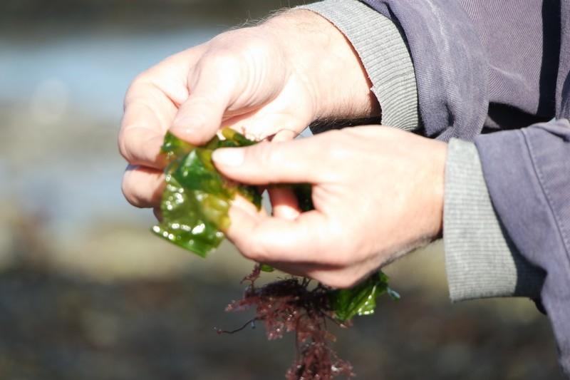 Cueillette d'algues avec les Jardins de la Mer au Croisic