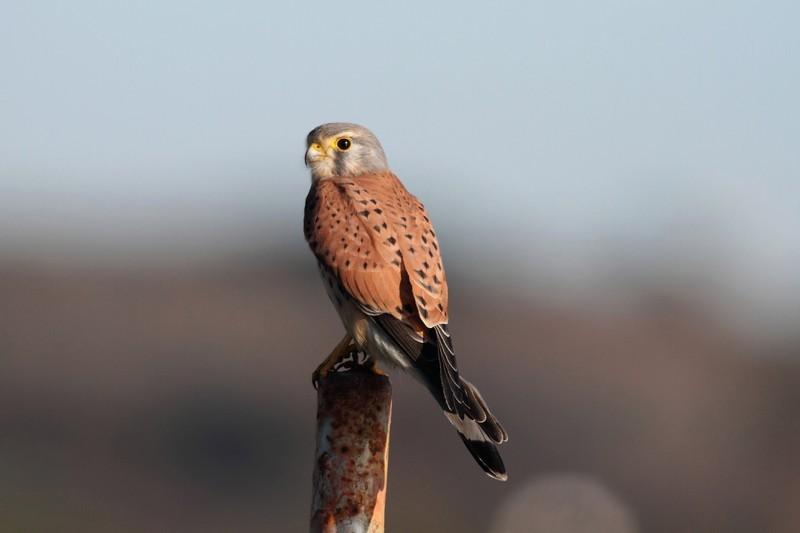 Faucon crécerelle - Mâle