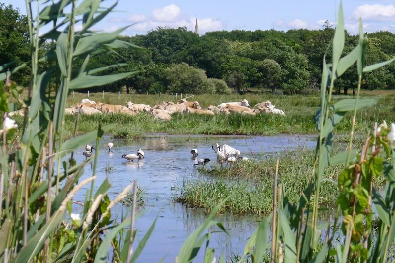 Ibis sacrés et vaches dans les marais