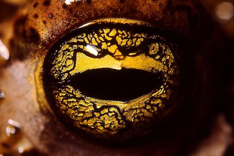 Oeil du Crapaud calamite (ou crapaud des joncs)
