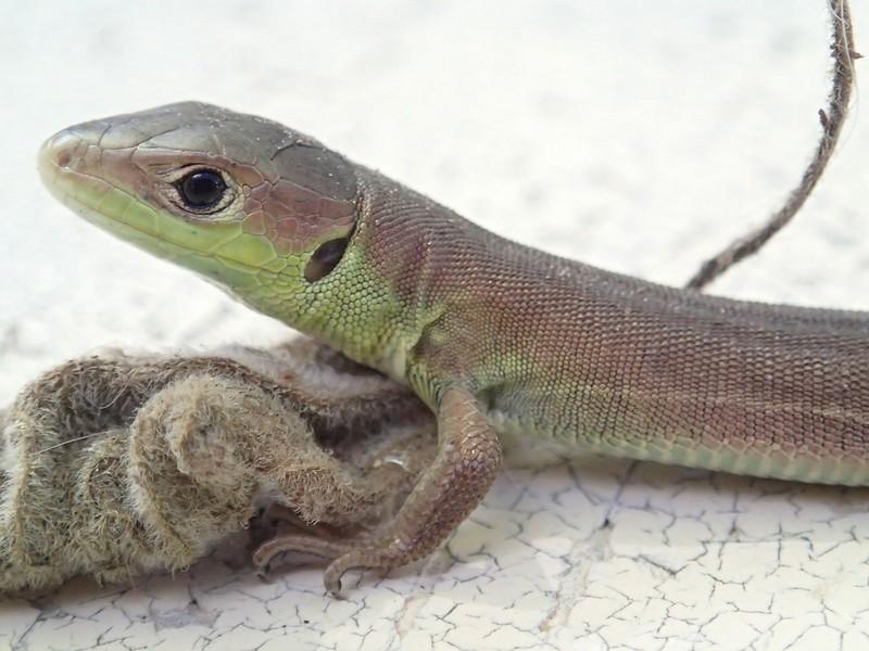 Lézard vert occidental - Jeune