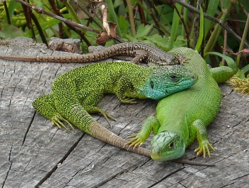 Lézard vert occidental mâle & femelle, Lézard des murailles