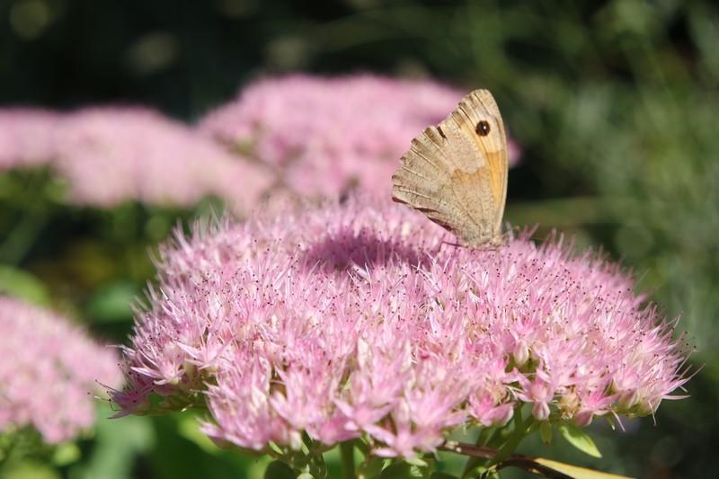 Papillon Moulin de Kergas à Herbignac