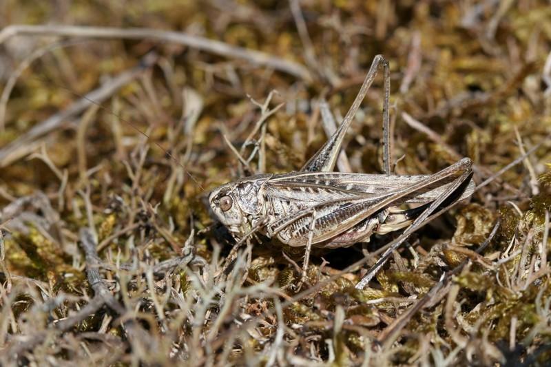 Platycleis affinis - Femelle
