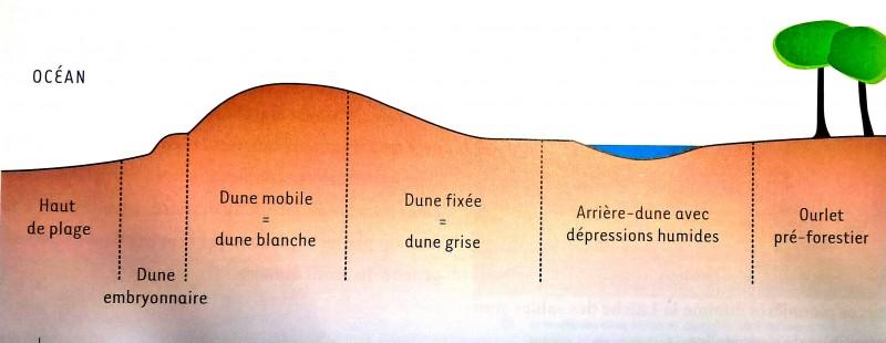 Profil des formations dunaires
