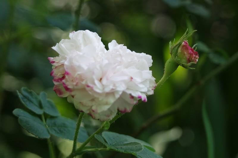 Rose des Jardins des Marais à Herbignac