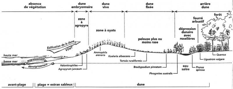 Schéma formation de la dune