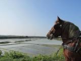 Calèche Nature Aventure, balade dans les marais salants au départ de Batz sur Mer