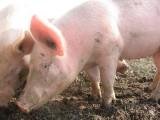 Didier David éleveur de cochons Mesquer - Vritz