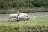 Les Amis des Sites de Mesquer - moutons dans les marais - Mesquer-Quimiac