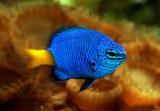 Océarium du Croisic - demoiselle bleue a queue dorée