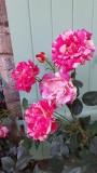 roses bicolores chambre d'hôtes BrAd en Brière