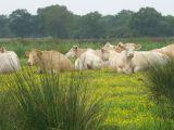Vaches au repos dans les marais - crédit photo : A Lebreton