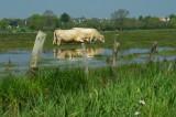 Vaches en estive dans les marais de Brière