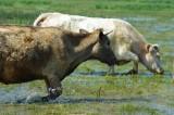 Vaches en estives sur les prairies inondables - Marais de Brière