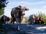 Les Veaux de Nathalie - Ferme des Iles Morice - Producteur de veaux de lait sous la mère à Saint Molf