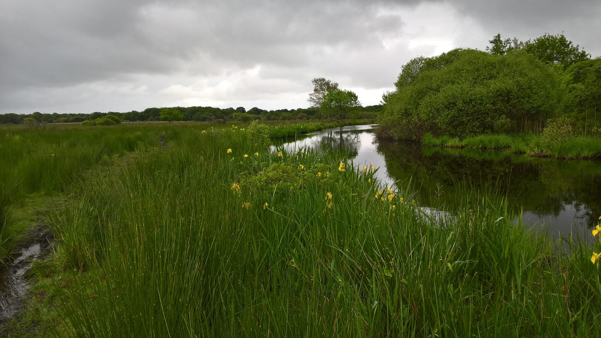 Iris en floraison dans le marais