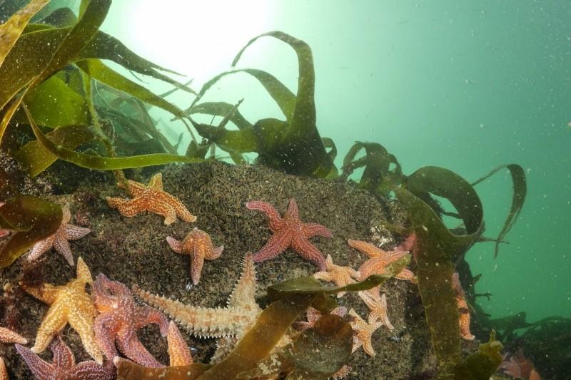étoiles de mer - Cooleur Plongée - Piriac Sur Mer