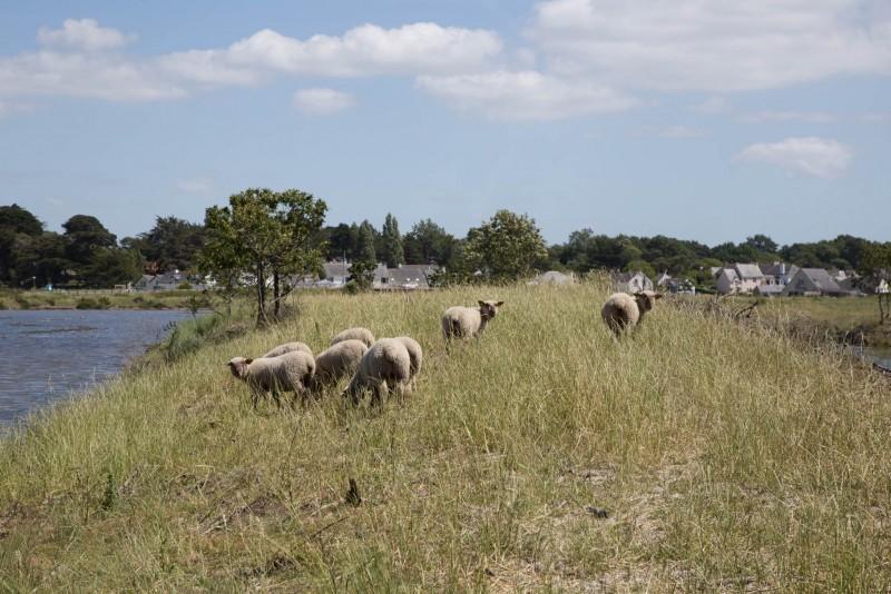 Les Amis des Sites de Mesquer -  moutons-lutte-baccharis - Mesquer-Quimiac