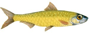 sardine-or-1782851