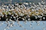 Envol d'Avocettes sur les marais salants