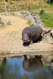 Planète Sauvage - Port Saint Père - Hippopotame