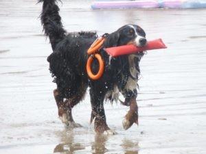 Démonstration de chiens de sauvetage en mer